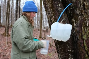 Me, collecting sap