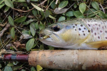 trout roots fly1